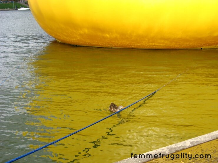 A real duck trying to peck away at the rubber duck's tethers.