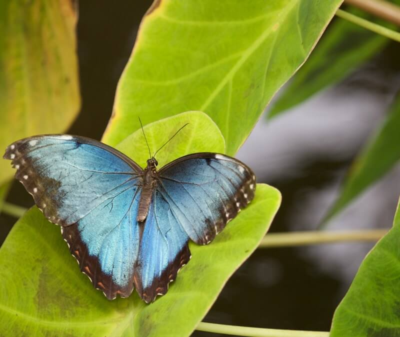 blue butterfly change pain metamorphosis