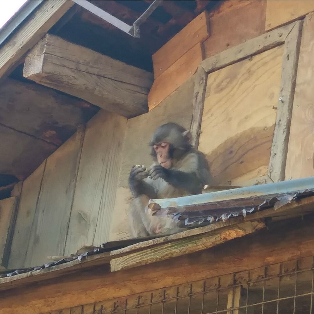 little monkey eating on perch kyoto